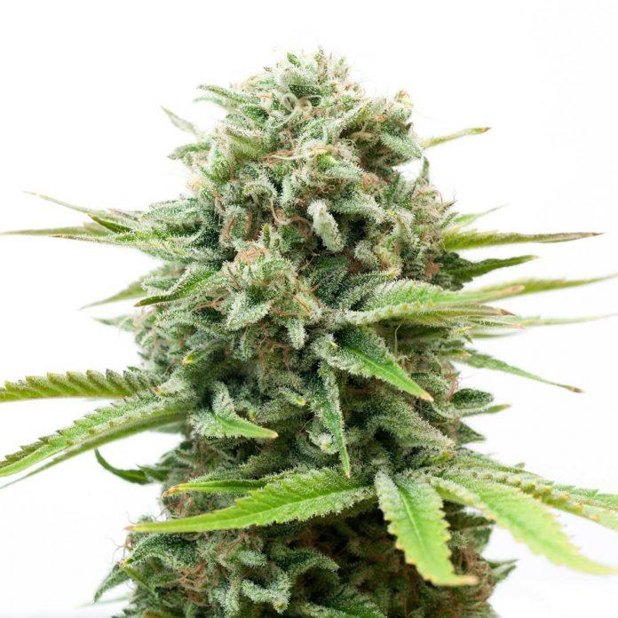 Uznanie palaczy i growerów niemal na całym świecie zdobyła niemal zaraz jak ujrzała światło dzienne. White Widow powstała w 1994 roku, zyskała popularność zwyciężając kolejne Cannabis Cupy. W tej chwili jest odmianą marihuany, którą oferują prawie wszystkie seed banki.
