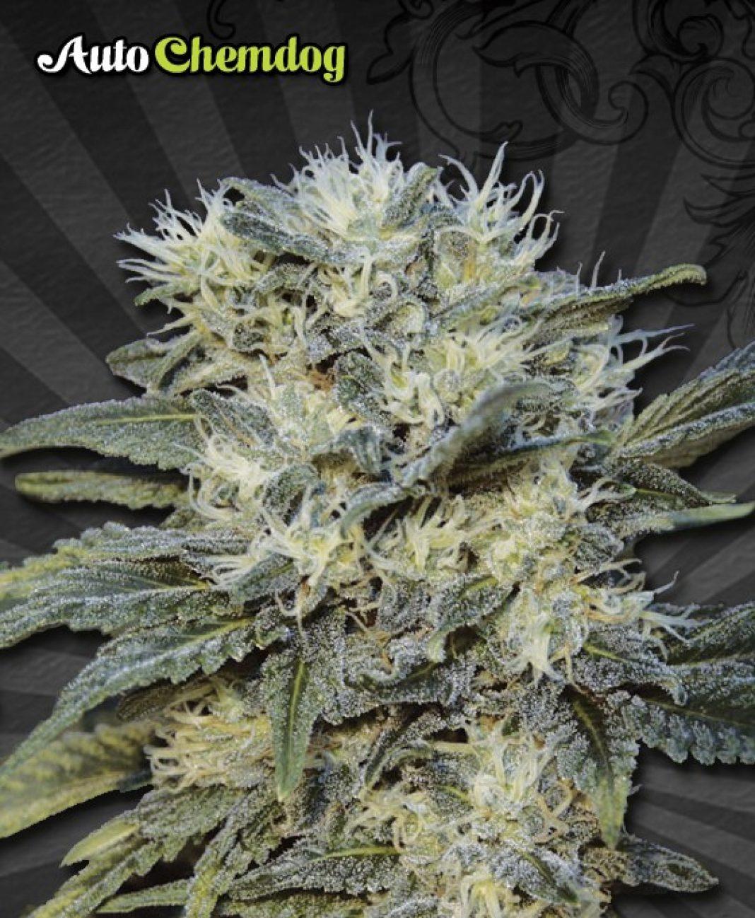 Od Chemdog czy też Chemdwag rozpoczęła się bujna przygoda powstania całej gamy odmian marihuany. Chemdog wciąż jest odmianą marihuany pełną tajemnic i niedomówień i nie wiadomo, która z nich jest tak naprawdę prawdziwa.