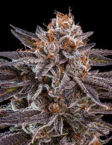 Hiszpański seedbank Ripper Seeds specjalizujący się głównie w europejskich odmianach marihuany włączył do swojej oferty dwie nowości o amerykańskiej genetyce. KmintZ i OMG to odmiany konopi, które powinny szybko stać się popularne wśród growerów i palaczy.