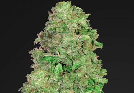 Popularność odmian marihuany z dużą zawartością CBD i niską THC wciąż rośnie. Tego typu odmiany nie mają mocnego działania psychoaktywnego, ale przede wszystkim lecznicze. Dlatego odpowiedzią na zapotrzebowanie rynku jest CBD Auto 20:1 od Fast Buds.