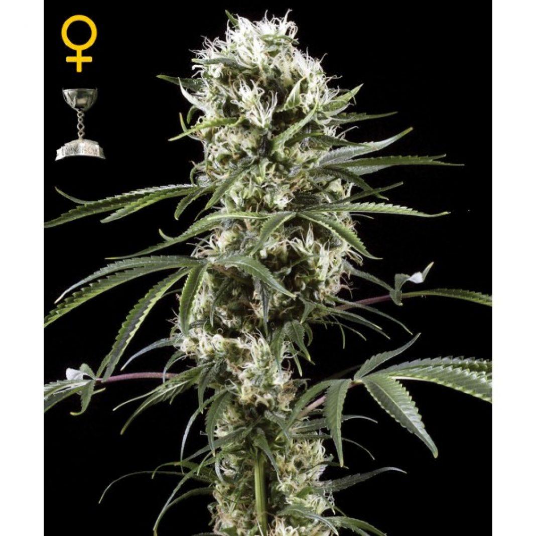 To jedna z najpopularniejszych odmian marihuany, wielokrotnie doceniania i nagradzana. Jest popularna szczególnie nad Wisłą i została wypromowana poprzez teksty polskich raperów. Więcej o cytrynowej odmianie Super Lemon Haze dowiecie się z tego artykułu.