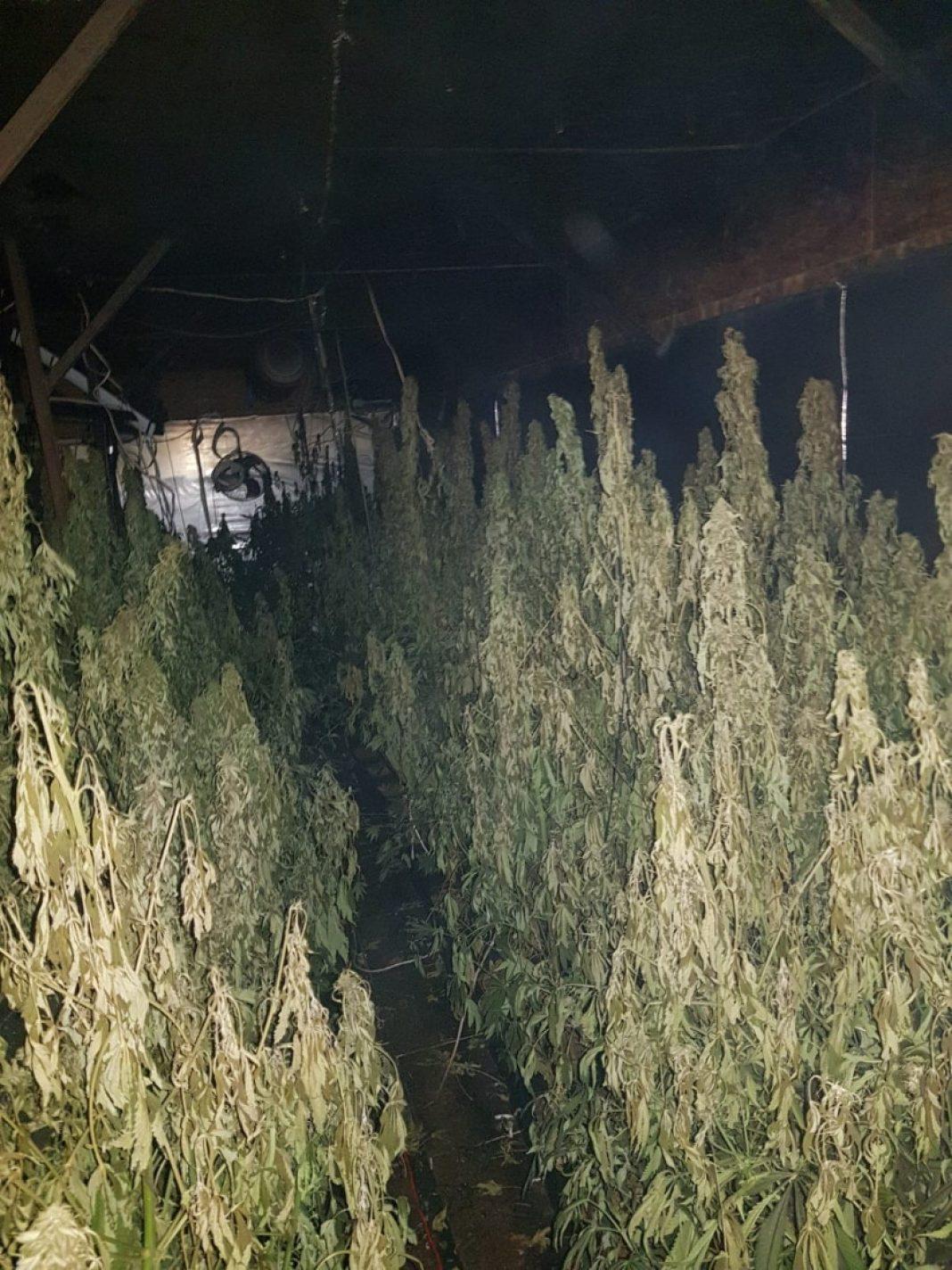 503 krzewy konopi indyjskich oraz 126 gramów zioła odkryli w jednym z domów letniskowych policjanci z Gdańska i Pucka. Mundurowi otrzymali informacje o profesjonalnej plantacji marihuany na terenie prywatnej posesji.