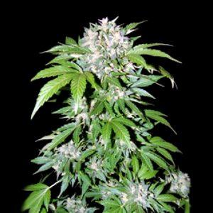 Charakteryzują się naprawdę dużą mocą i siłą rażenia. Mowa o dwóch odmianach marihuany – Mazar oraz kultowej AK 47. Przyjrzyjmy się zatem tym dwóm, mocnym przypadkom i poznajmy lepiej ich specyfikę.