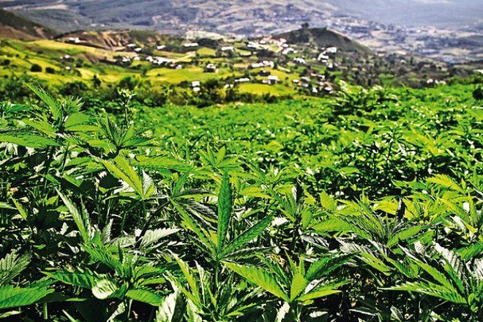 Rada Ministrów Maroka jeszcze w tym tygodniu ma zatwierdzić projekt ustawy legalizujący w całym kraju marihuanę. W efekcie umożliwi to nie tylko swobodne zapalenie jointa , ale również będzie to zielone światło dla konopnego biznesu w Maroku.