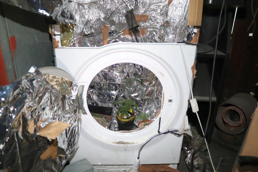 To był growbox na miarę możliwości gminy Dobre koło Radziejowa. Zrobiony ze starej pralki i profesjonalnie wyposażony zapewniał uprawianym konopiom indyjskim niemal idealne warunki. Zapewne i plony 37 letni właściciel tej uprawy w pralce zebrałby obfite, gdyby nie został przyłapany przez policjantów.
