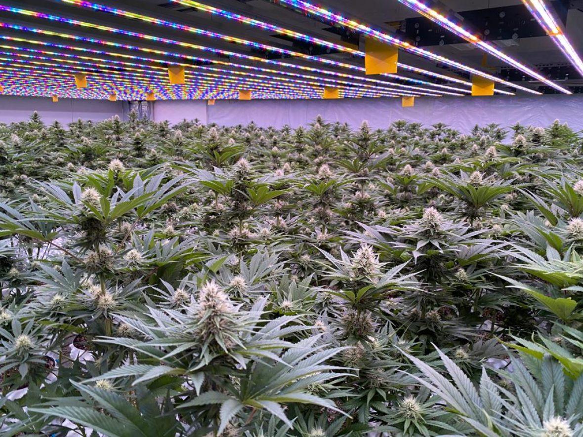 Cannabisland - Polski producent suszu