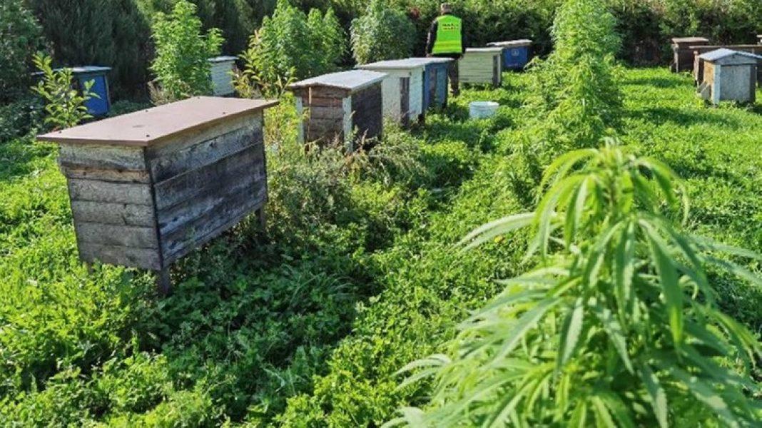 Dorodne krzewy marihuany pszczelarz spod Kętrzyna (woj. warmińsko-mazurskie) uprawiał bynajmniej nie po to, żeby wytwarzać konopny miód.