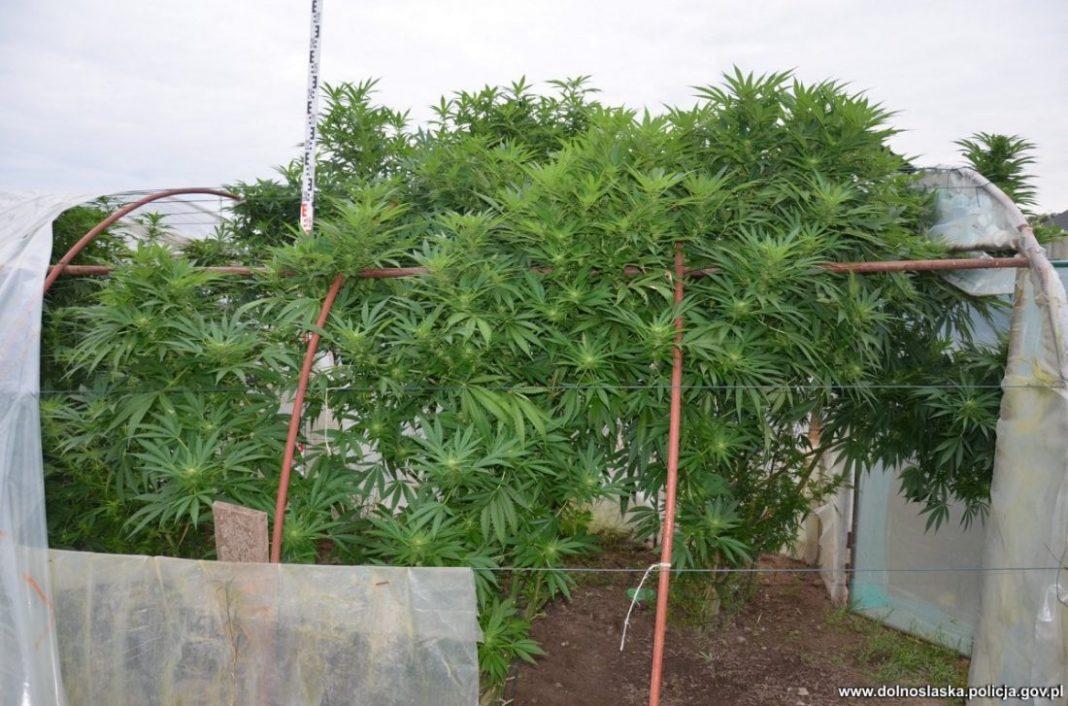 W szklarni, pomiędzy pomidorami 62 latek uprawiał 15 krzewów konopi indyjskich. Nielegalną plantację namierzyli jednak policjanci z Bolesławca. Zatrzymany mężczyzna tłumaczył, że konopie mają właściwości lecznicze i uprawiał je na własny użytek.